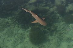 Baby Shark In The Sea Stock Images