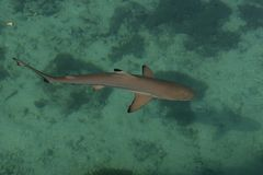 Baby Shark In The Sea Royalty Free Stock Images