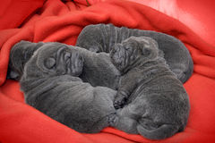Baby sharpei puppies Sleeping. Baby sharpeis, age 2 weeks old, lilac puppies sleeping on a red blanket Stock Image