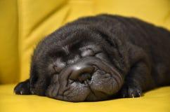 Baby sharpei puppy Sleeping. Baby sharpei, age 3 weeks old, black girlsleeping on a yellow sofa Stock Photo
