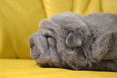 Baby sharpei puppy Sleeping. Baby sharpei, age 3 weeks old, lilac girl sleeping on a yellow sofa Royalty Free Stock Images