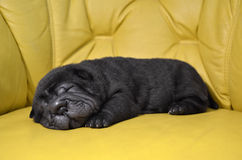 Baby sharpei puppy Sleeping Stock Photo