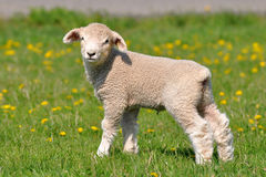 Baby sheeep. Young lamb and dandelions is spring and summer Stock Photo