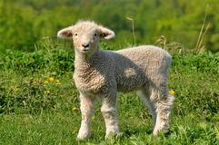 Baby sheeep. Young lamb and dandelions is spring and summer Stock Images