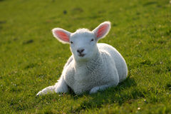 Baby Sheep Royalty Free Stock Image