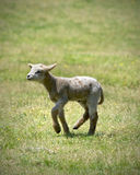 Baby sheep Royalty Free Stock Photo