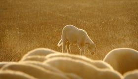 Baby sheep Royalty Free Stock Photo