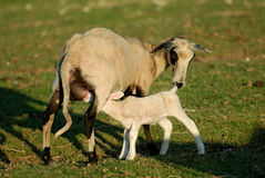 Baby sheep. Little sheep suckling her mother Royalty Free Stock Image
