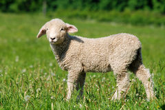 Baby sheep. Lamb counts among the most cute animals Stock Image