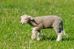 Baby sheep. Young baby sheep is symbol of the spring Stock Photography