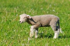 Baby sheep Stock Photography