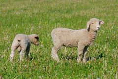 Baby sheep Stock Photos