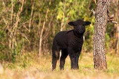 Baby sheep. A black baby sheep Royalty Free Stock Photography