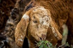 Baby Sheep Royalty Free Stock Photos