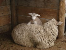 Baby sheep climbing mother Stock Image
