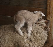 Baby sheep climbing mother Royalty Free Stock Photos