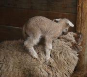 Baby sheep climbing mother royalty free stock photos