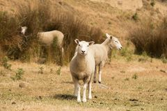 Baby Sheep farm animal over dry glass. Farming animal Stock Images