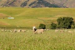 Baby sheep farm over glass field, New Zealand stock photo