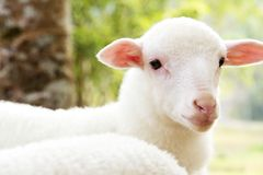 baby sheep in the farm Royalty Free Stock Photo