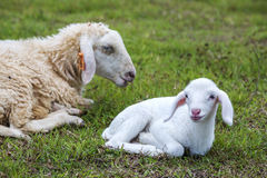 Baby sheep on grass. In farm, Ba Ria Vung Tau province, Vietnam stock images