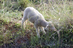 Baby Sheep Grassing - Nature - Animals Life Stock Image