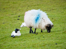 Baby sheep and mom. Irish baby sheep with its mom Stock Photography