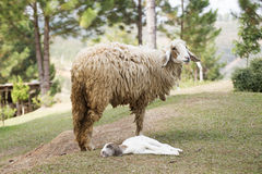 Baby sheep and Mother sheep Royalty Free Stock Photos