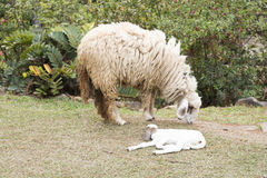 Baby sheep and Mother sheep Royalty Free Stock Images