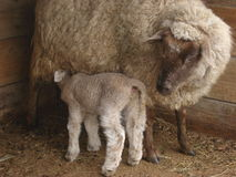 Baby sheep nursing Royalty Free Stock Photo