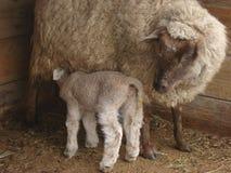 Baby sheep nursing royalty free stock photo