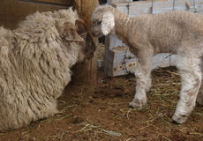Baby sheep nuzzling mother stock images