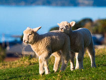 Baby sheep @ Omana regional park, New Zealand. Baby sheep playing together at sunset in the regional park in New Zealand Stock Photo