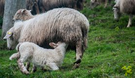 A baby sheep suckling. A young sheep taking milk of her mother Royalty Free Stock Image