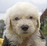 Baby Sheepdog Royalty Free Stock Photos