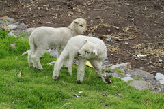 Baby sheeps in the farm land Stock Photography