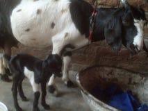 Baby shegoat met mamma met mooi ogenblik stock foto's