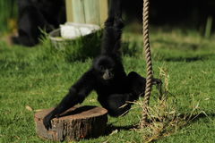Baby Siamang Stockbild
