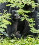Baby Siamang ape stock photos