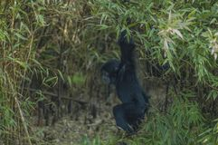 Baby siamang. A little monkey in the jungle stock photo