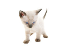 Baby Siamese Stock Photo