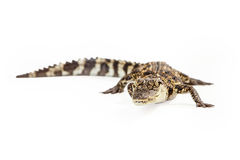 Baby Siamese Crocodile Looking At Camera Royalty Free Stock Images