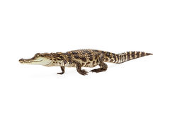 Baby Siamese Crocodile Walking Side View Royalty Free Stock Images