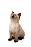 Baby Siamese Kitten. Sitting down, looking curious stock photography