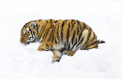 Baby siberian tiger. On a snow background Stock Photos