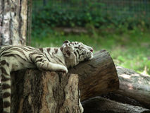 Baby siberian tiger resting on tree trunk. At the zoo Stock Image