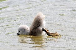 Baby signet swan trying to duck dive. Having difficulties getting under the water, this baby swan is reluctant to get his head wet royalty free stock images