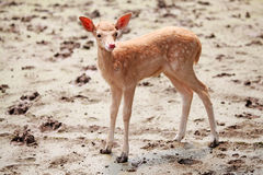 Baby sika deer Royalty Free Stock Image