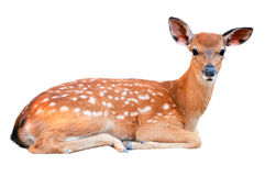 Free Baby Sika Deer Stock Images - 30220654
