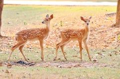 Free Baby Sika Deer Royalty Free Stock Image - 30220736
